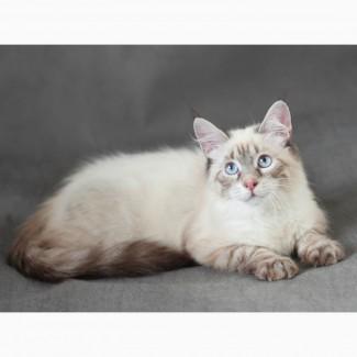 Невский Маскарадный котенок-юниор от титулованных родителей