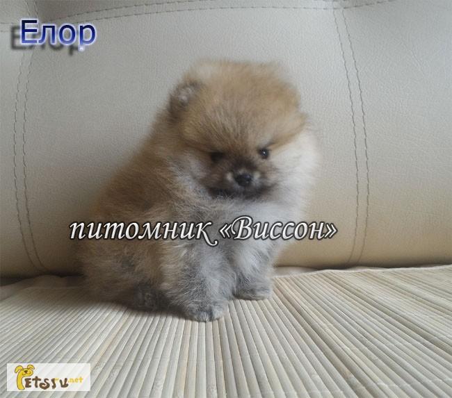 Фото 4. 2 мальчика, щенки померанского шпица