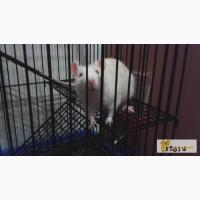 Ручная крыса с клеткой