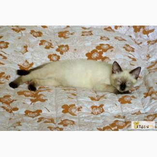 Сиамский котенок в хорошие руки. в Москве