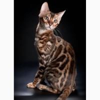Котята - бенгалята из питомника
