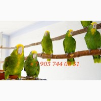 Желтоголовый амазон (Amazona oratrix) - ручные птенцы из питомников Европы