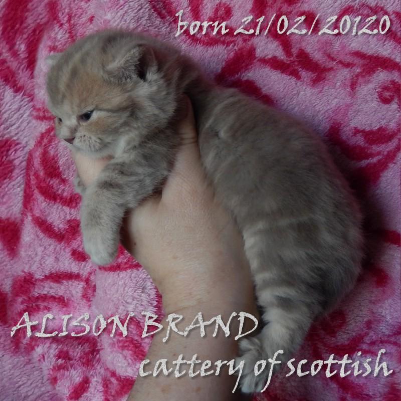 Фото 1/6. Шотландские котята