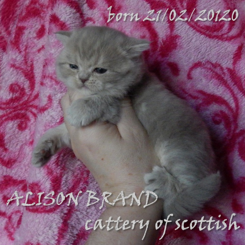 Фото 3/6. Шотландские котята