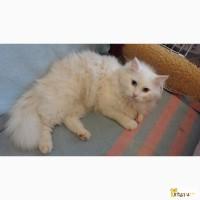 Ангорский кот ищет дом
