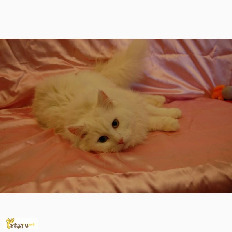 Фото 3/7. Ангорский кот ищет дом