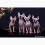Котята породы канадский сфинкс, племенные пары.