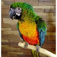 Милиголд (гибрид попугаев ара) - ручные птенцы из питомников Европы