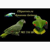 Амазон Мюллера (Amazona farinosa) - птенцы выкормыши из питомников Европы