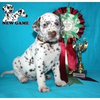 Продается великолепный щенок далматина