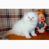 Персидский котик ред поинт с голубыми глазами