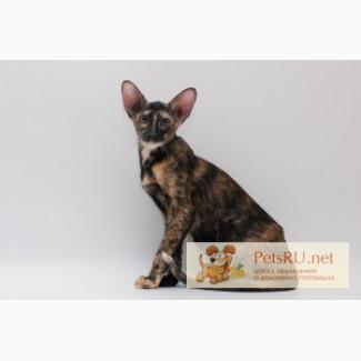 Ориентальная кошка., Тюмень