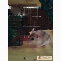 Акомисы (иглистая мышь).