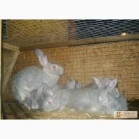 Кролики мясных пород в Калуге