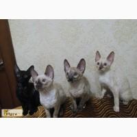 Котята корниш-рекс в Казани