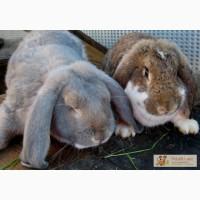 Продам кроликов мясных пород: Французский баран, Фландр; домашнее мясо кролика.