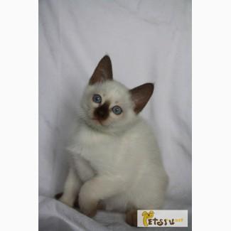 Тайские породные котята