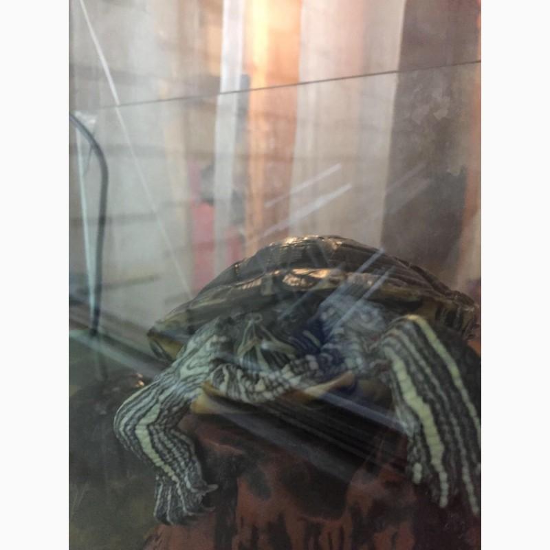 Фото 1/3. Продам две красноухие черепахи