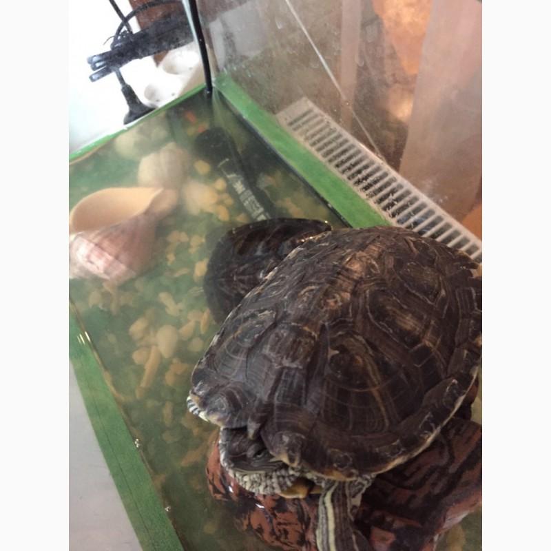 Фото 2/3. Продам две красноухие черепахи