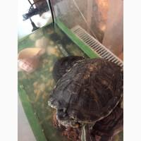 Продам две красноухие черепахи
