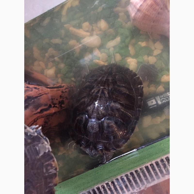 Фото 3/3. Продам две красноухие черепахи