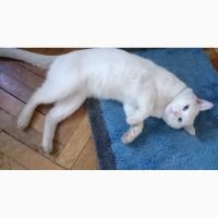 Очень красивый белоснежный голубоглазый глухой кот в добрые руки