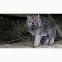 Обычный серый волк
