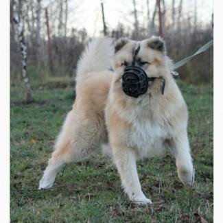 Бош - серьёзная собака только для охраны даром