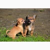 Миниатюрные щенки чихуахуа