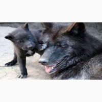 Канадский черный волк