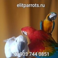 Попугаи ара, какаду, амазон, жако, благородный попугай, веерный попугай - ручные птенцы