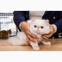 Персидский голубоглазый котенок