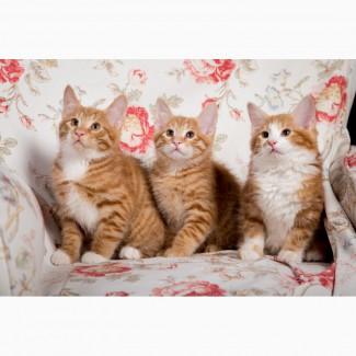 Курильский бобтейл клубные котята от Чемпиона Мира