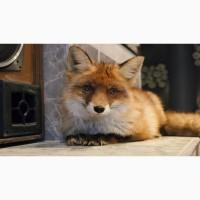 Обыкновенная рыжая лисица