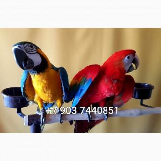 Попугаи ара - ручные птенцы 4 мес. из питомников Европы