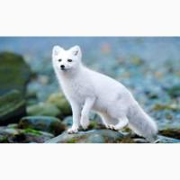 Полярная лисица или песец