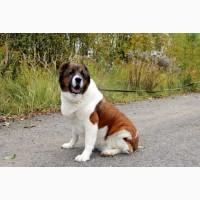 Чупа Чупс - семейная собака в дар