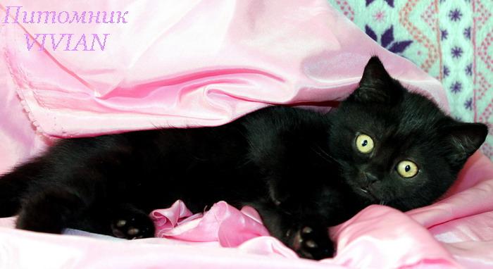 Фото 1/1. Британские черные котята из питомника