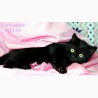Британские черные котята из питомника