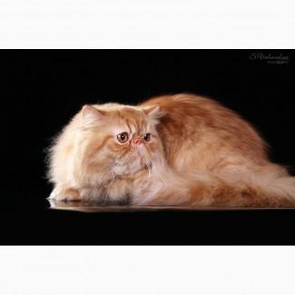 Персидский котик Чемпион для вязок предлагаю
