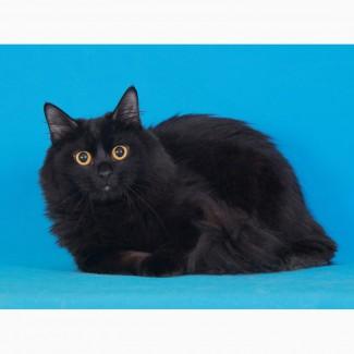 Сибирский котик из питомника