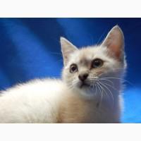 Котенок-девочка, метис тайской кошки ищет дом