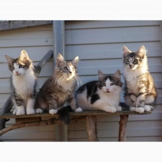 Норвежские лесные котята с родословной