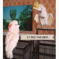 Какаду - абсолютно ручные птенцы из питомников Европы