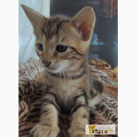Продажа котенка саванны