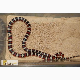 Продаю маисовых полозов и королевских змей