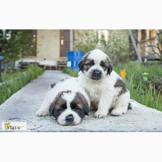Сенбернар-щенки в Челябинске