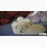 Тайские котята ищут своих любящих хозяев в Санкт-Петербурге