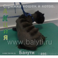 Зоо-стрижка котов, кошек. Выставочный грумминг кошек. Вычесывание/ СВАО, Медведково