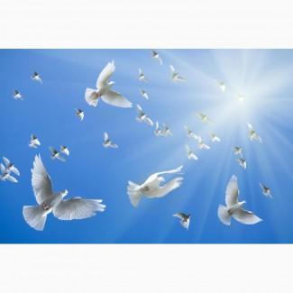 Белые голуби для выпуска на праздники